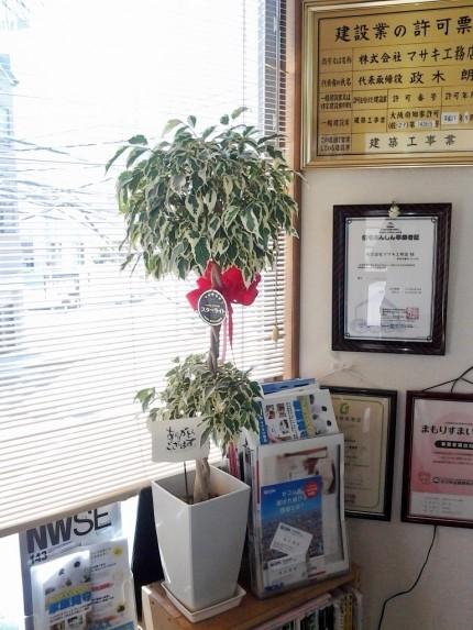 ベンジャミン スターライト 観葉植物