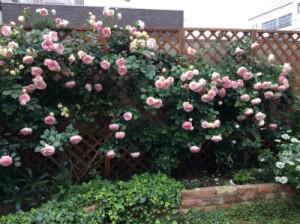 素敵な薔薇です